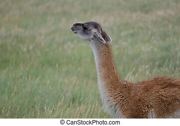 Guanaco Lama guanicoe smelling in a meadow. Torres del Paine...