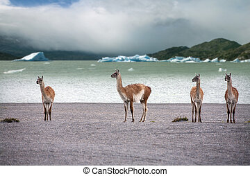 Guanaco - Lama guanicoe - Torres del Paine - Patagonia - ...