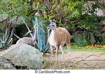 guanaco (Lama guanicoe) with greater rhea (Rhea americana)