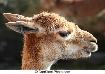 Guanaco - The head of a guanaco, a kind of llama