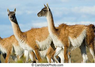 Guanacoes (Lama guanicoe). - Guanacoes (Lama guanicoe) in...