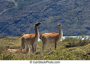 Guanacos in Torres del Paine National Park, Chile