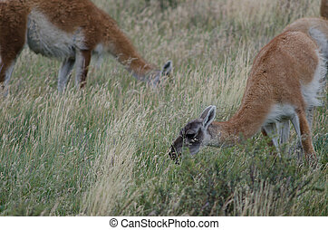 Guanacos Lama guanicoe grazing in a meadow. Torres del Paine...