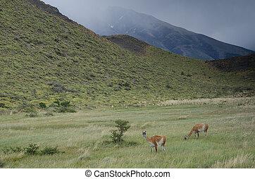 Guanacos Lama guanicoe in Torres del Paine National Park. ...