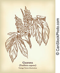 Guarana branch with fruit and leaves. Vintage Vector illustration.