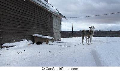 Guard Dog On A Chain - Guard dog on a chain