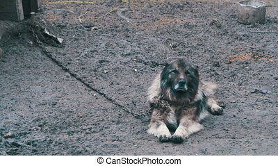 Guard dog on a chain in the village. Dog attached with short...