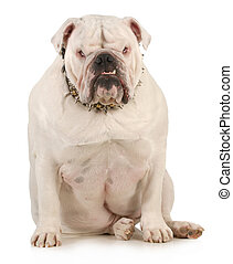 guard dog - english bulldog wearing spiked collar with...