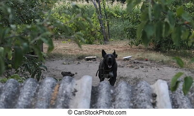Guard Dog Tied on a Chain near the Booth is Aggressive Barking. Slow Motion. Dog barks and keeps the yard. Dog in village conditions. Big black watchdog in the rural yard. Summer, day.