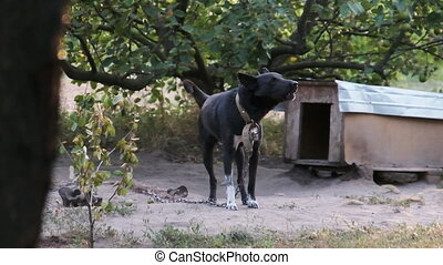 Guard Dog Tied on a Chain near the Booth is Aggressive Barking. Slow Motion in 240 fps. Dog barks and keeps the yard. Dog in village conditions. Big black watchdog in the rural yard. Summer, day.