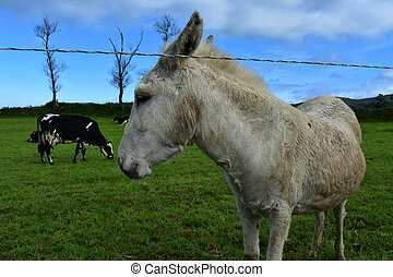 Guard Donkey Out to Pasture with Cows in a Field