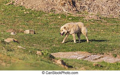 Guard shepherd dog walking in the field