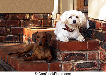 Pet Friends Maltese and Miniature Dachshund Guarding House