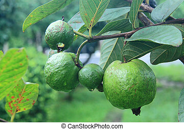 guava on tree in garden