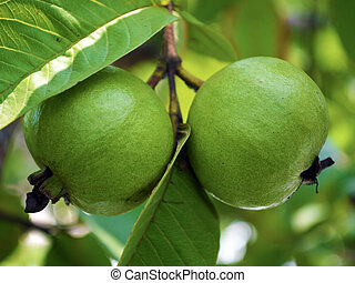 Guava on tree