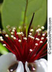 Guava tree flower
