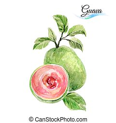 Guava - Watercolor fruit guava isolated on white background