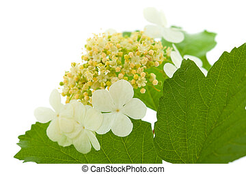 guelder rose flowers isolated on white