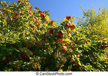 Guelder-rose on the bush