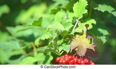 Guelder rose (Viburnum opulus) berries closeup - Guelder...