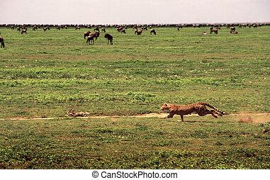 guepardo, perseguir, conejo
