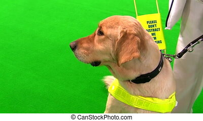 Guide dog and blind woman isolated - Golden retriever cross...
