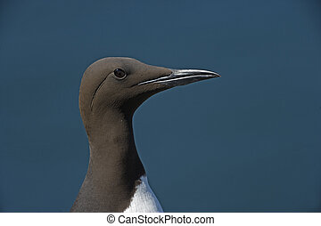 Guillemot, Uria aalge, single bird head shot, Northumberland