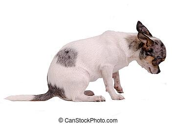 Guilty chihuahua dog