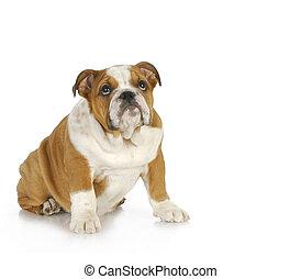 guilty looking dog - guilty looking puppy - english bulldog...