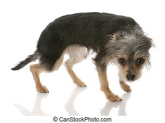 guilty looking dog - yorkshire terrier mixed breed standing...