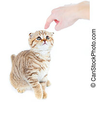 Guilty Scottish kitten fold isolated with finger pointed