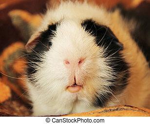 guinée, bouche, nez, cochon