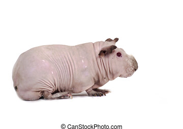 guinée, chauve, cochon