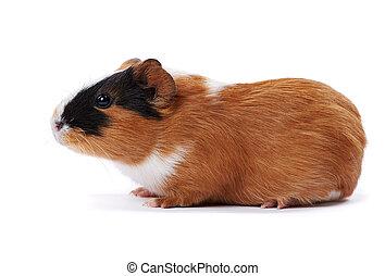 guinée, fond blanc, cochon