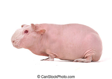 guinée, maigre, rouge-regardé, cochon
