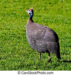 Guinea fowl - Close up of guinea fowl in grass