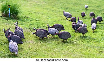 Guinea-fowl. - Guinea-fowl Birds Guinea-fowl birds closeup...