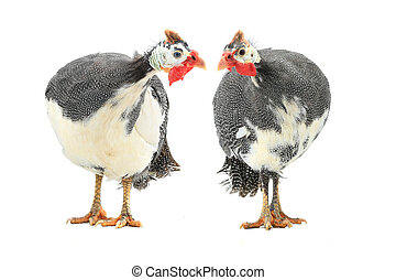 Guinea fowls (Numida meleagris) isolated on a white background in studio.