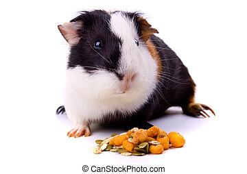 guinea gris, husdjuret, djur, isolerat, vita