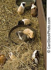 guinea, juego, cerdos