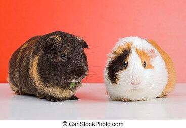 guinea, negro, cerdo