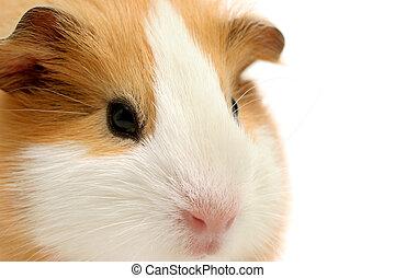guinea, op, closeup, witte , varken