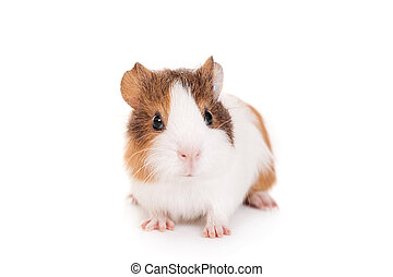 Guinea pig baby