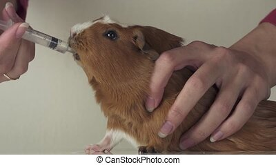 Guinea pig breed Golden American Crested drinking medicine...