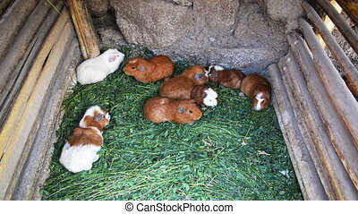 Guinea Pig Cage - Guinea pigs in a pen to be cooked later in...