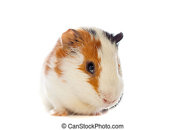 guinea pig closeup isolated over wh