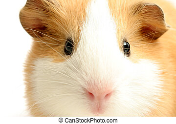 guinea pig - a highkey closeup with focus on the eye, shot over white