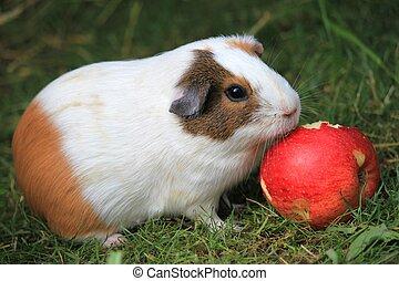 Guinea Pig - Closeup photo of a guinea pig eating an apple