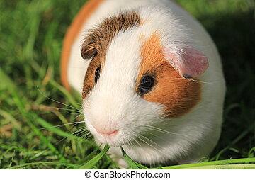 Guinea Pig - Closeup photo of a guinea pig