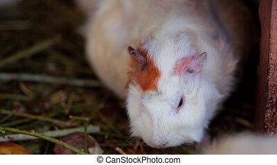 Guinea Pig - Cute white guinea pig that chews. Close-up.